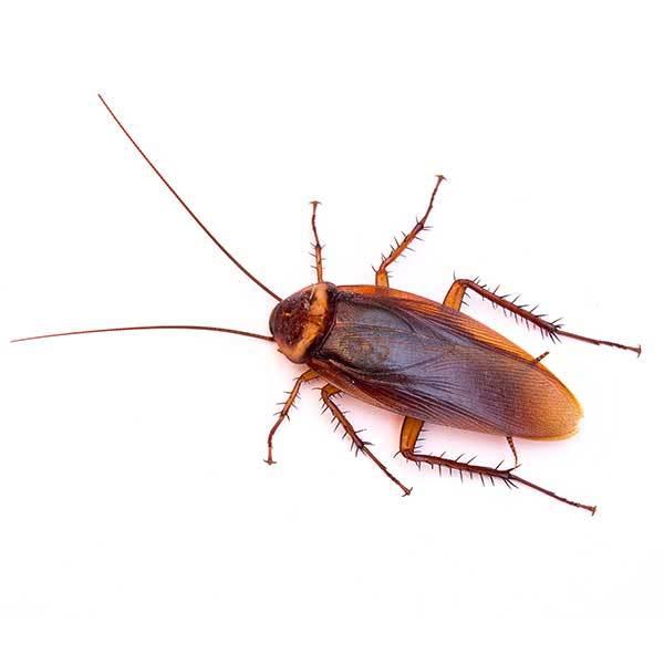 american cockroach grande