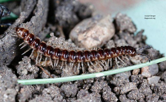 10. Millipede Larva