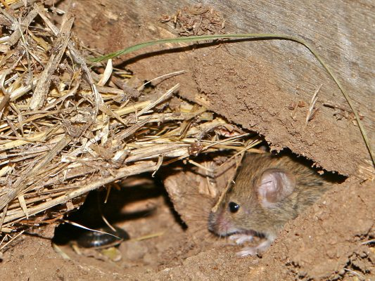 10. Mouse Extermination