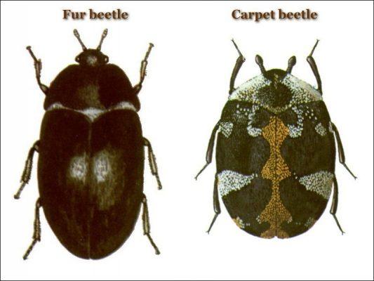 12. Carpet Beetle vs Fur Beetle1
