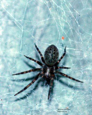 12. Wolf spider