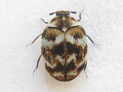2. Eliminate Carpet Beetle1