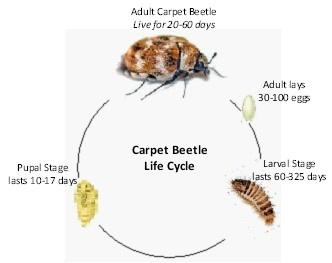 4. Carpet Beetle Life Cycle2