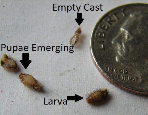 9. Carpet Beetle Larva Pupa Size1