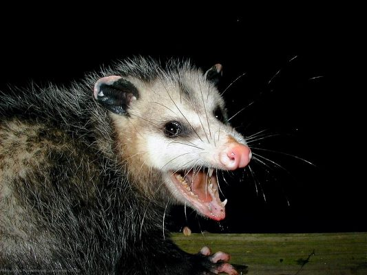 American Possum