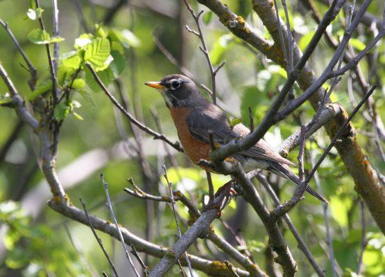 American Robin scaled