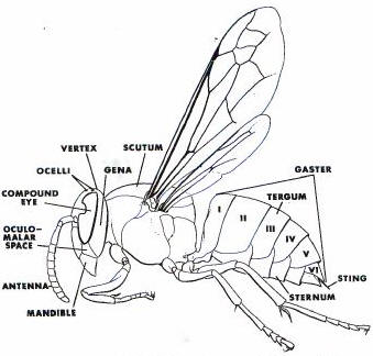 Bald faced hornet diagram