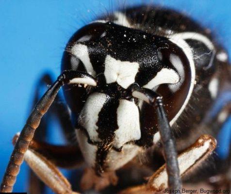 Bald faced hornet face detail