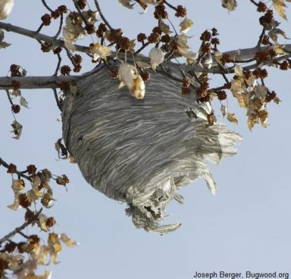 Bald faced hornet nest in tree