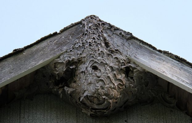 Bald faced hornet nest on roof peak