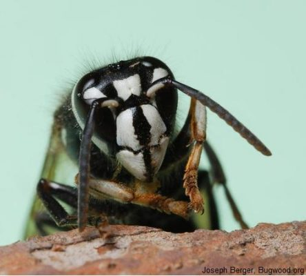 Bald faced hornet white hornet