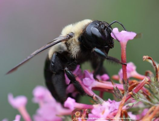 Carpenter Bee Detail on flower 1