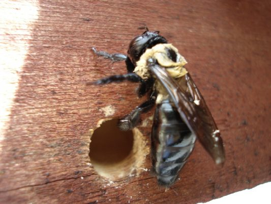 Carpenter bee by exit hole