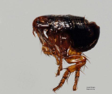 Cat flea detail