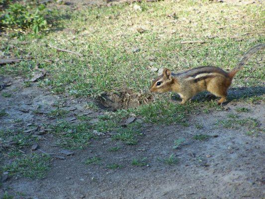 Chipmunk burrow hole1