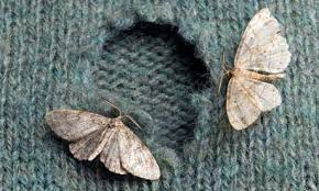 Clothes moth damaging fabric