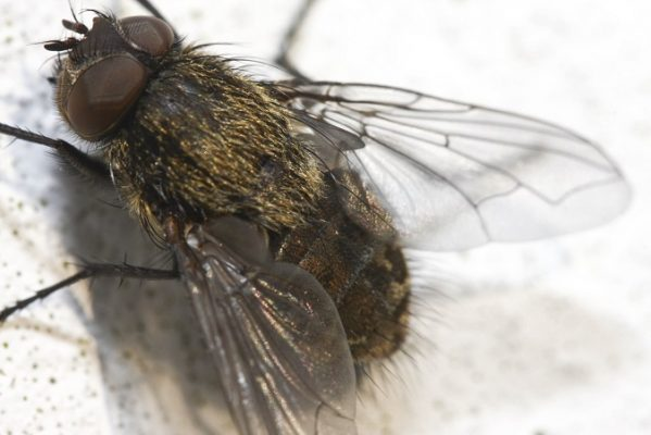 Cluster fly detail