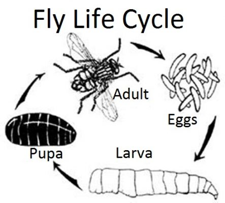 Cluster fly life cycle
