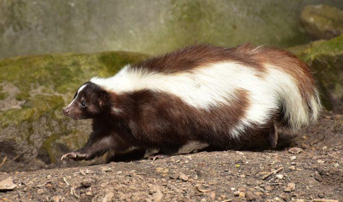 Common Skunk