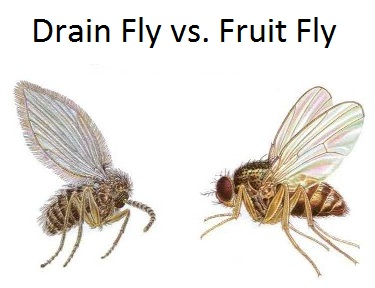 Drain fly vs. fruit fly