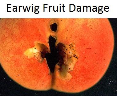 Earwig damage to fruit