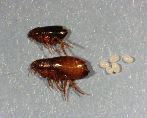 Flea male female and eggs