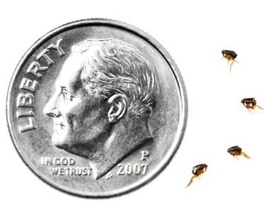 Flea size