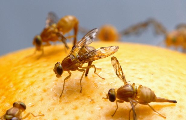Flies on orange scaled