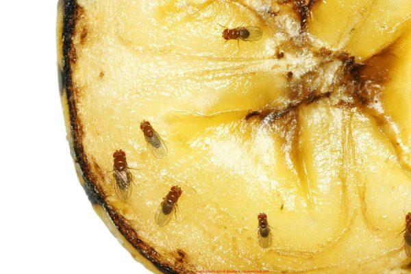 Fruit flies on pineapple 1