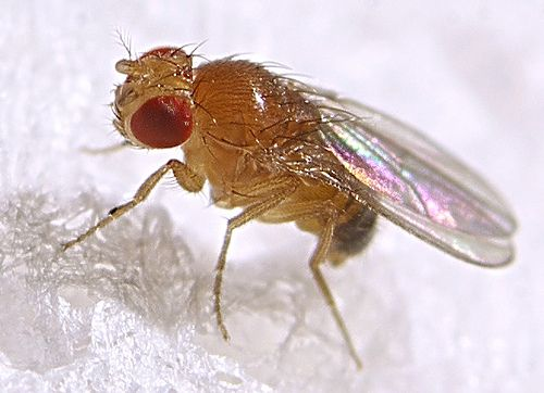 Fruit fly detail