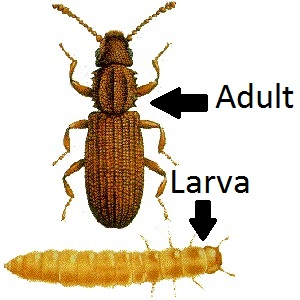 Grain Beetle Adult and Larval forms