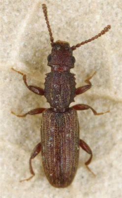Grain Beetle Color