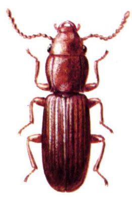 Grain Beetle Illustration