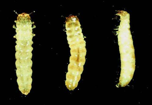 Grain Beetle Larva