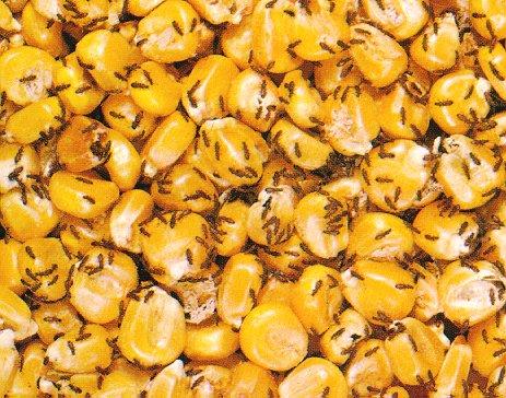Grain Beetle in corn