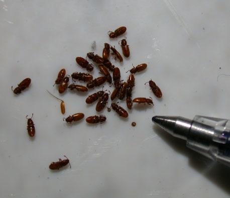 Grain Beetle size