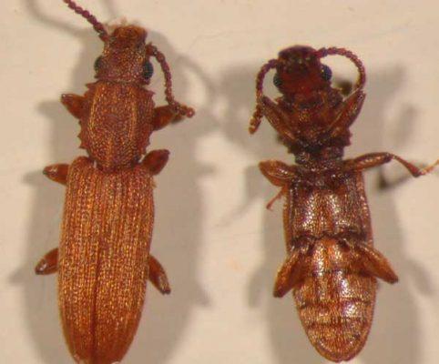 Grain Beetle top and bottom