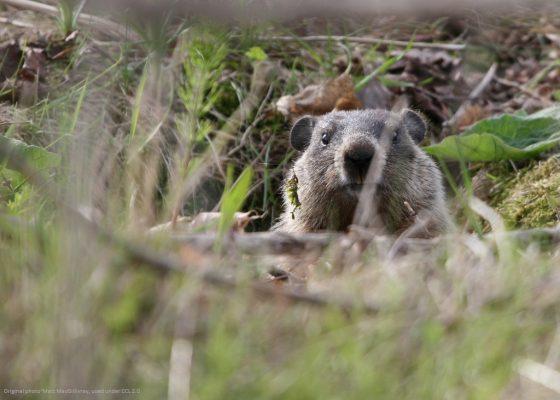Groundhog 1