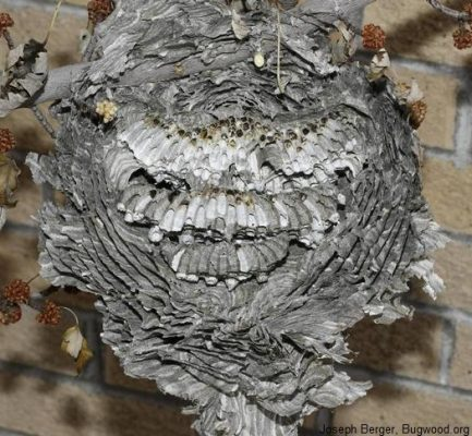 Hornet nest close to home