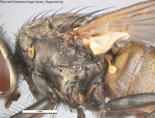 House Fly Wing Detail