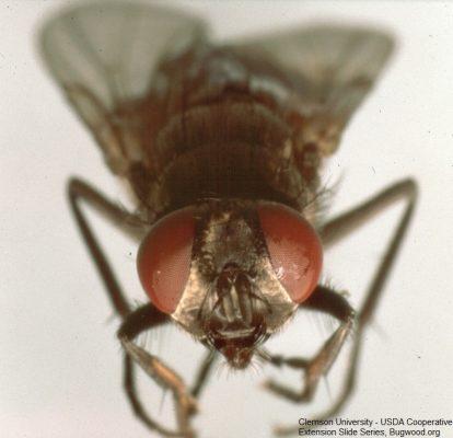 House fly eyes