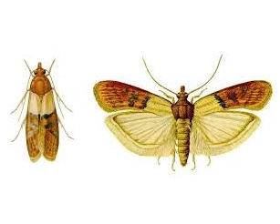 Indian Meal Moth Illustration 1
