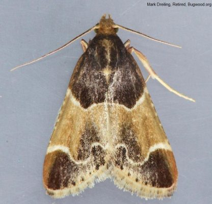 Indian Meal Moth Pattern 1