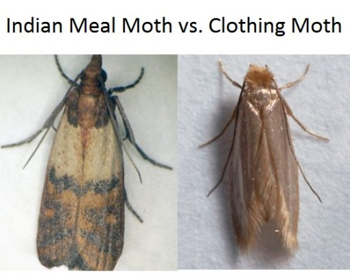 Indian Meal Moth vs. Clothing Moth Comparion 1