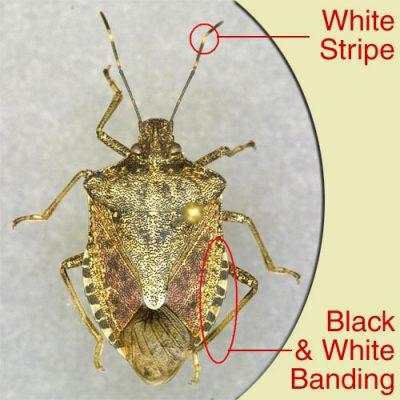 Key stinkbug identification tips