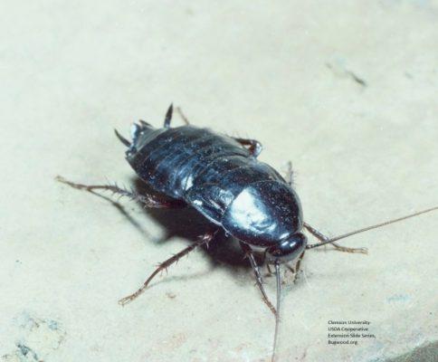 Oriental roach head e1447604357236