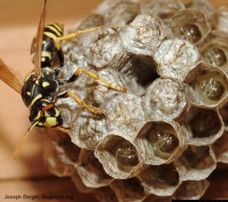Paper wasp on signature umbrella nest