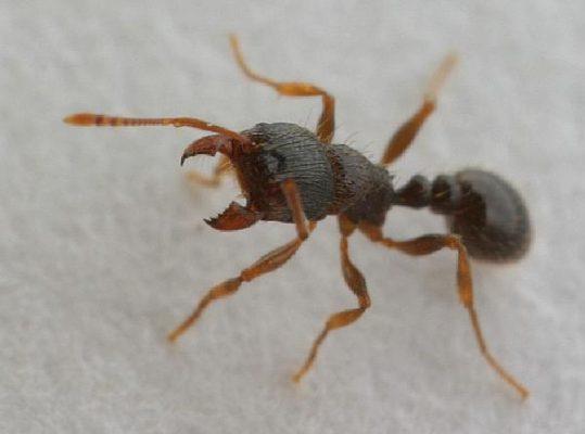 Pavement Ant close up