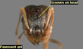 Pavement Ant head