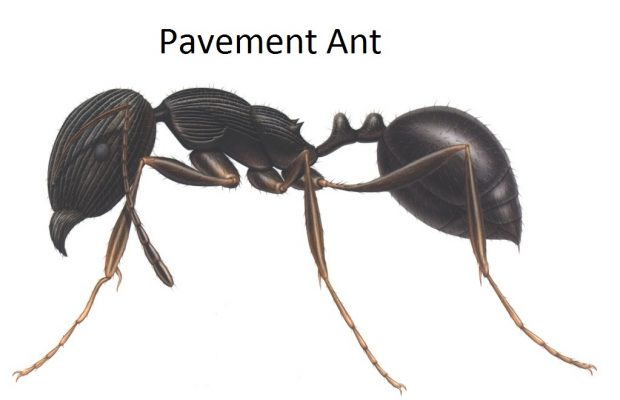 Pavement Ant illustration